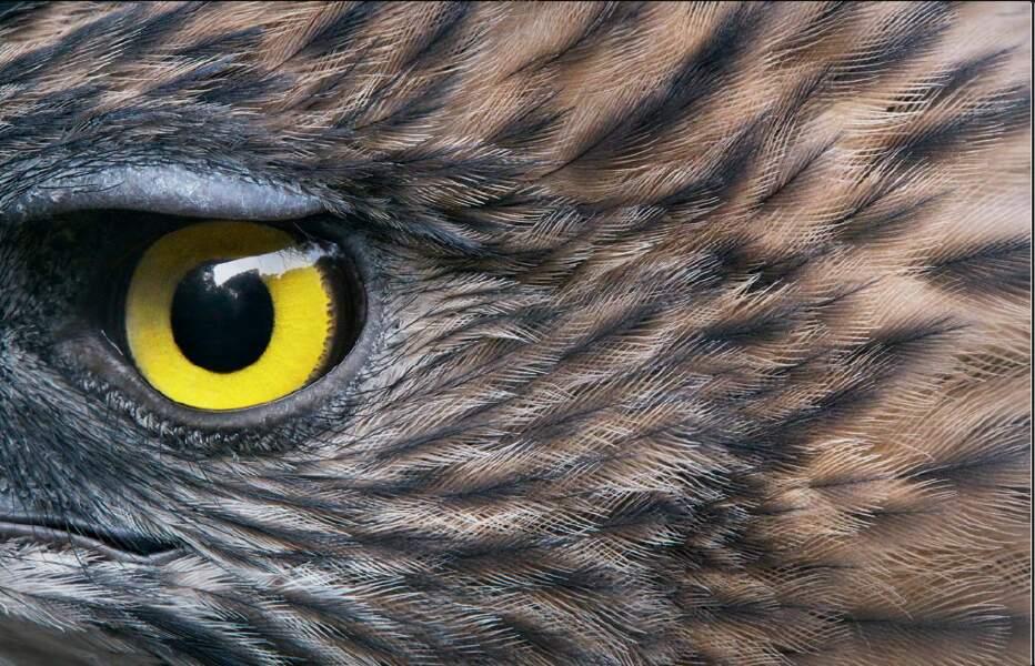 Aigle de Pinsker