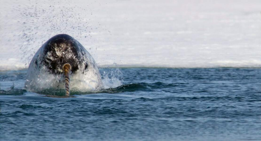 Narval dans l'océan Arctique