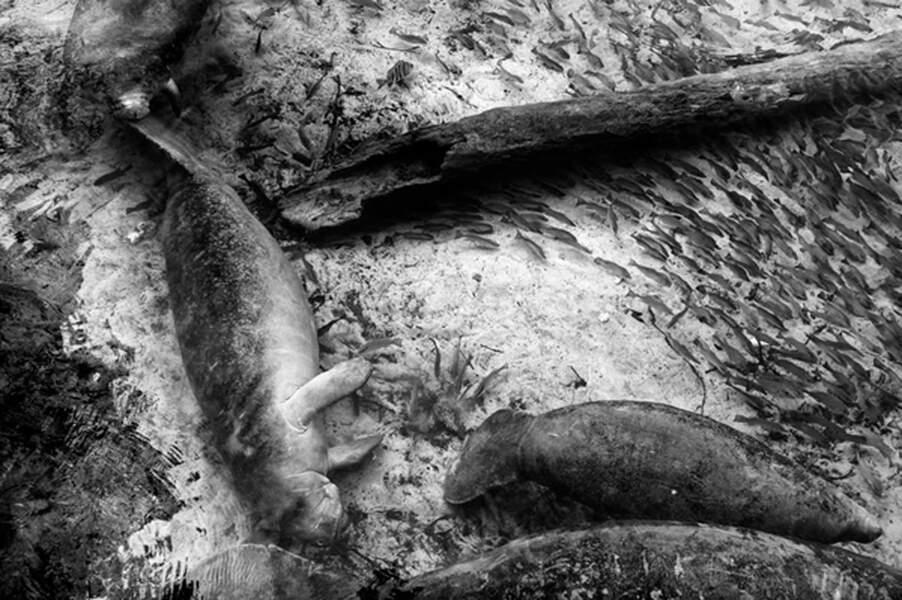 Un mammifère aquatique sur la liste des espèces en voie de disparition