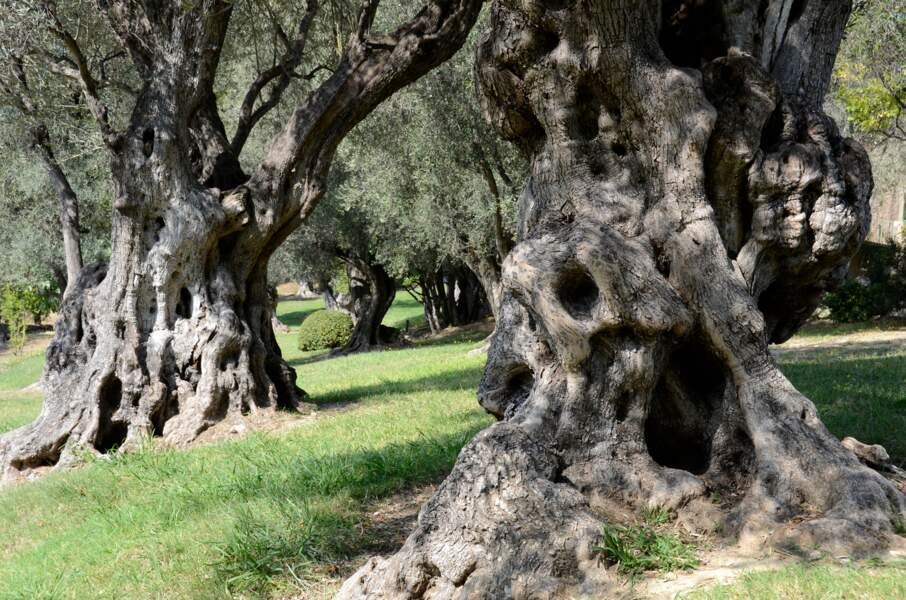 Les oliviers de Cagnes-sur-mer, mémoire vivante de Renoir