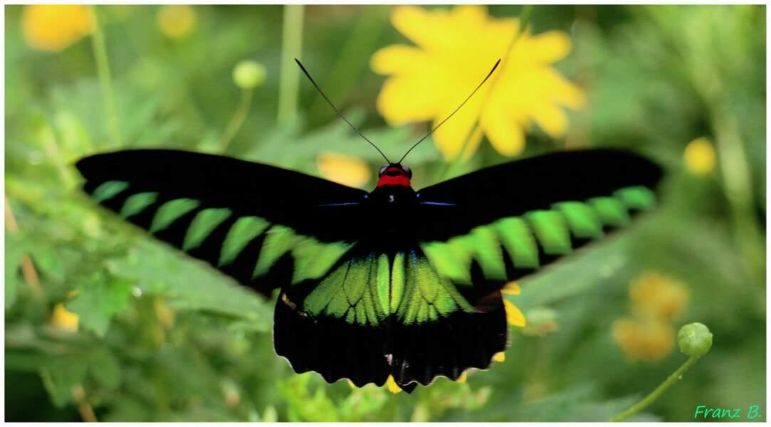 Papillon en Malaisie