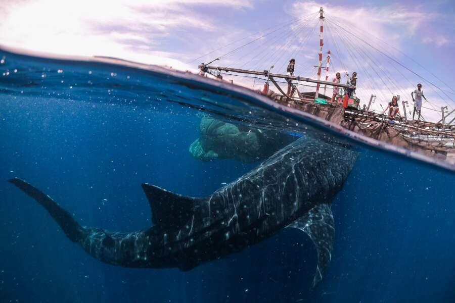 Rencontre avec un requin-baleine