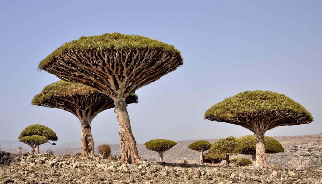 Le dragonnier de Socotra