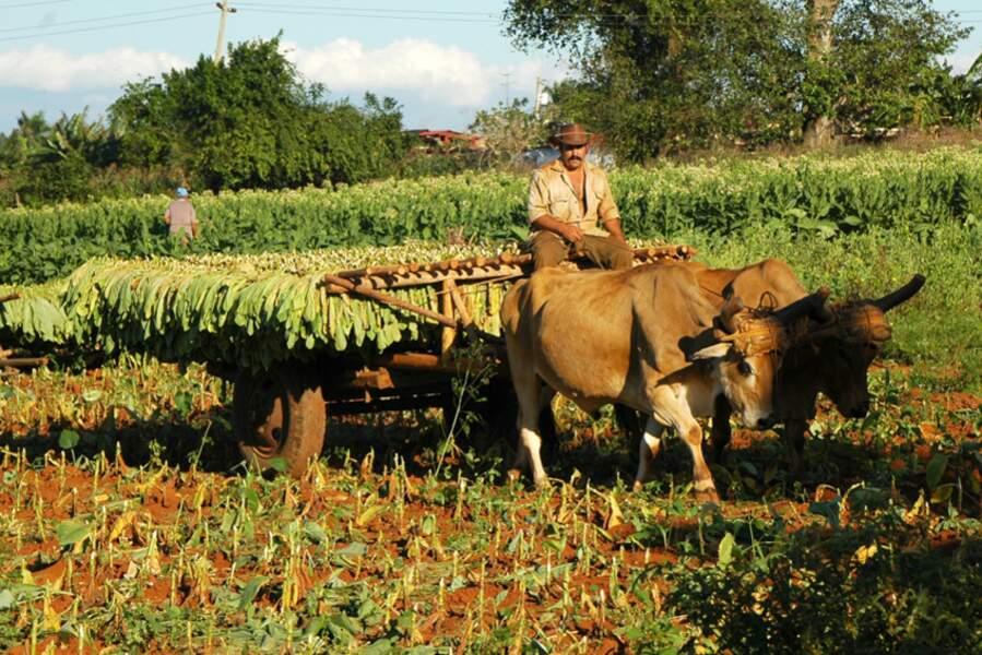 Récolte du tabac dans la vallée de Vinales, province de Pinar del rio, Cuba, par Isabelle Chauvel / Communauté GEO