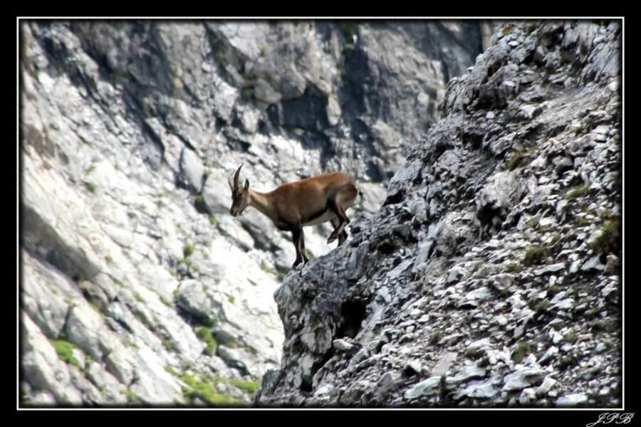 Chamois dans les Alpes, par le GEOnaute jpbourdeilh