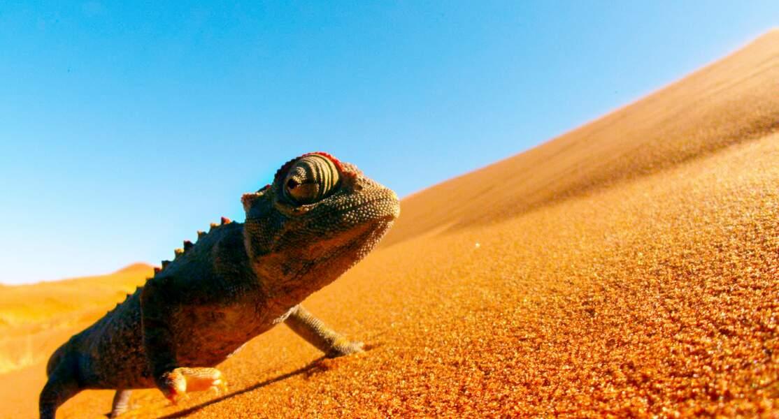 Caméléon namaqua / Parc National de Namib Naukluft, Désert du Namib, Namibie