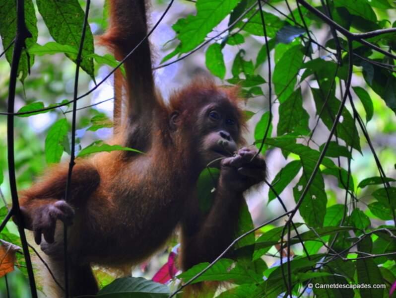 Indonésie - A la découverte des orangs-outans à Sumatra