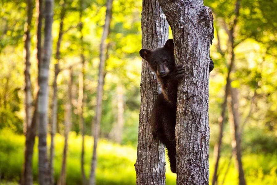 Voir des ours noirs et des grizzlis au Canada