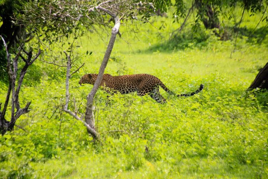 La foisonnant faune sri-lankaise du Yala National Park