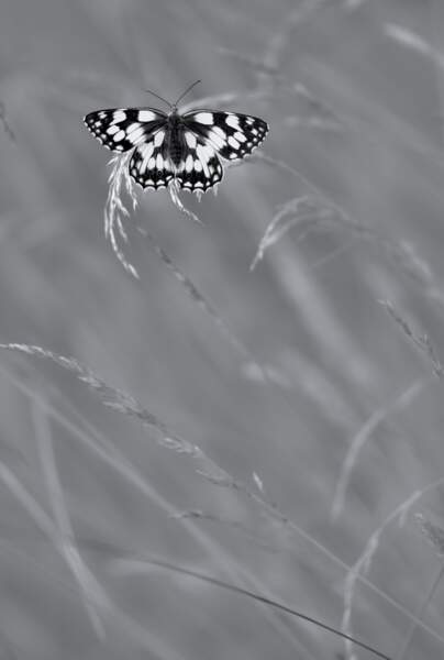 Papillon monochrome
