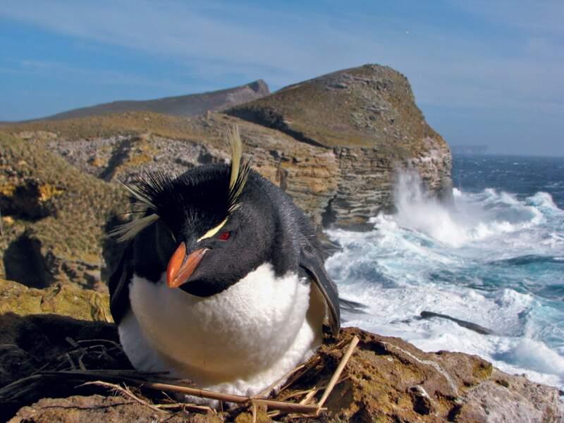 Gorfou sauteur sur son nid dans les îles Malouines