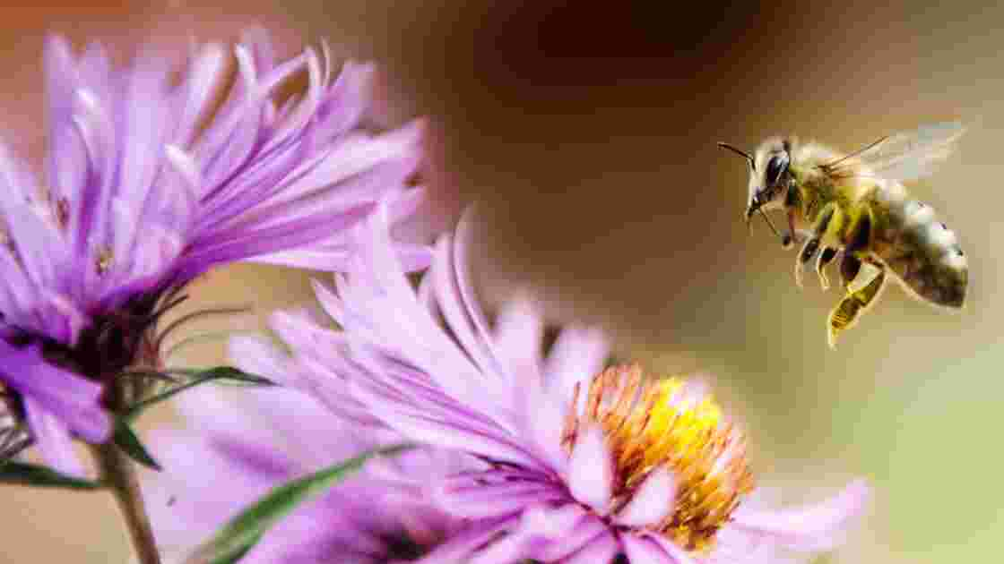 Pourquoi il faut sauver les abeilles