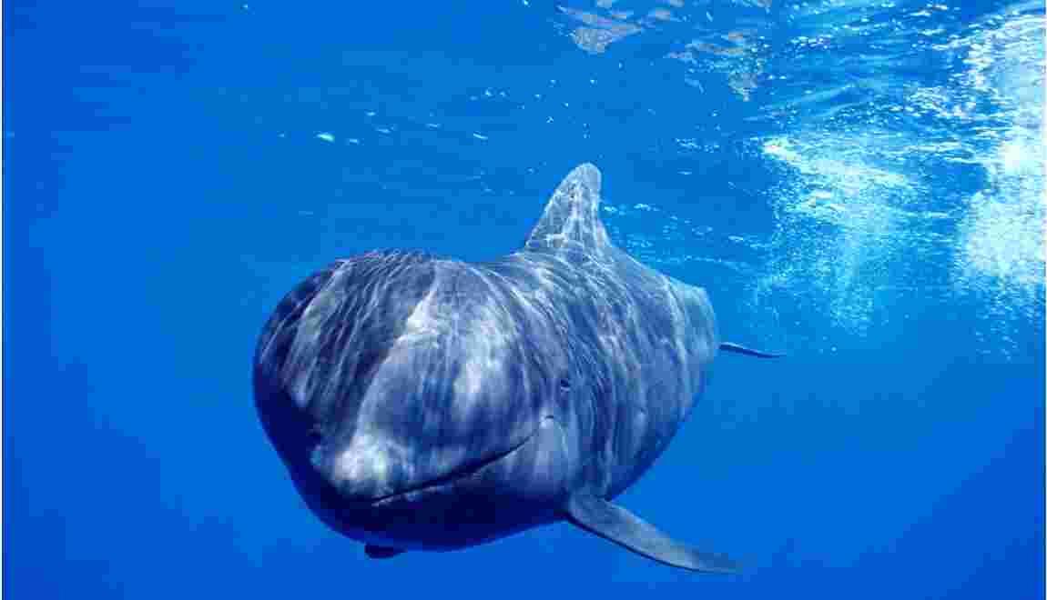 Îles Féroé : la chasse aux dauphins est-elle acceptable au nom de la tradition ?