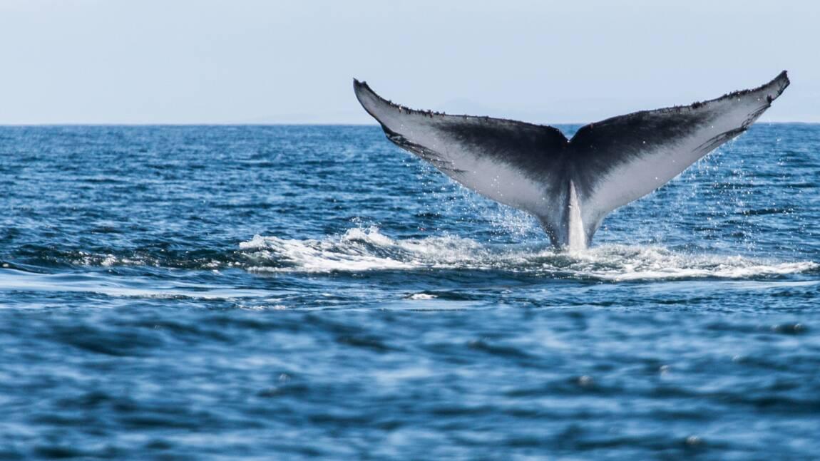 La sérénade d'une baleine bleue