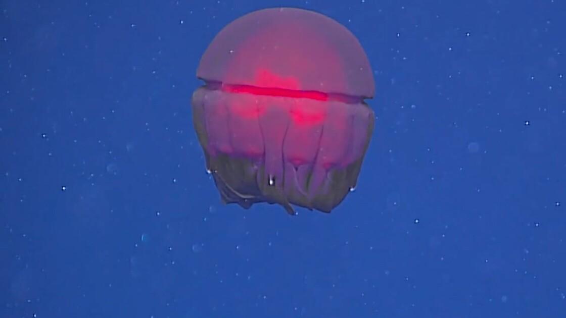 VIDÉO : Créatures mystérieuses des fonds marins