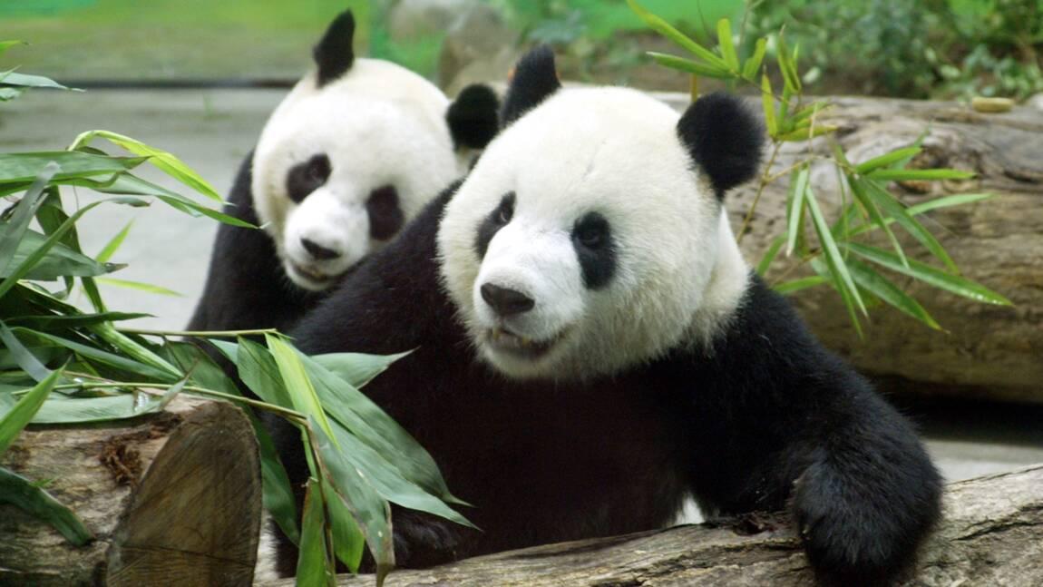 Les pandas géants menacés par la déforestation en Chine