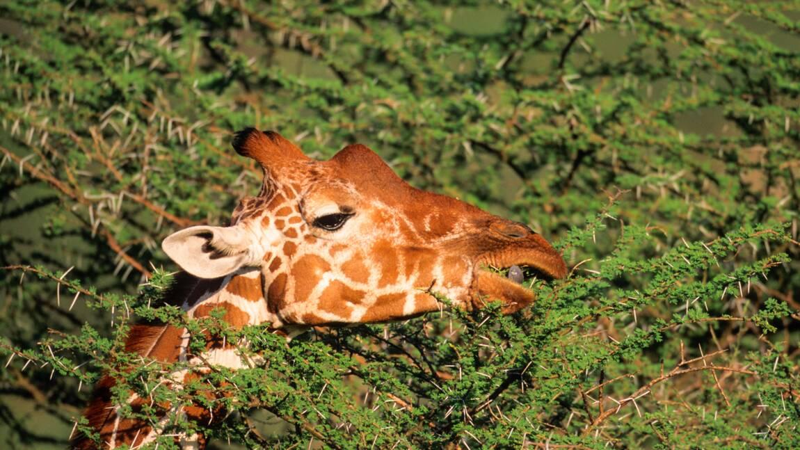 Quand une chasseuse s'attaque à une girafe, la Toile s'indigne