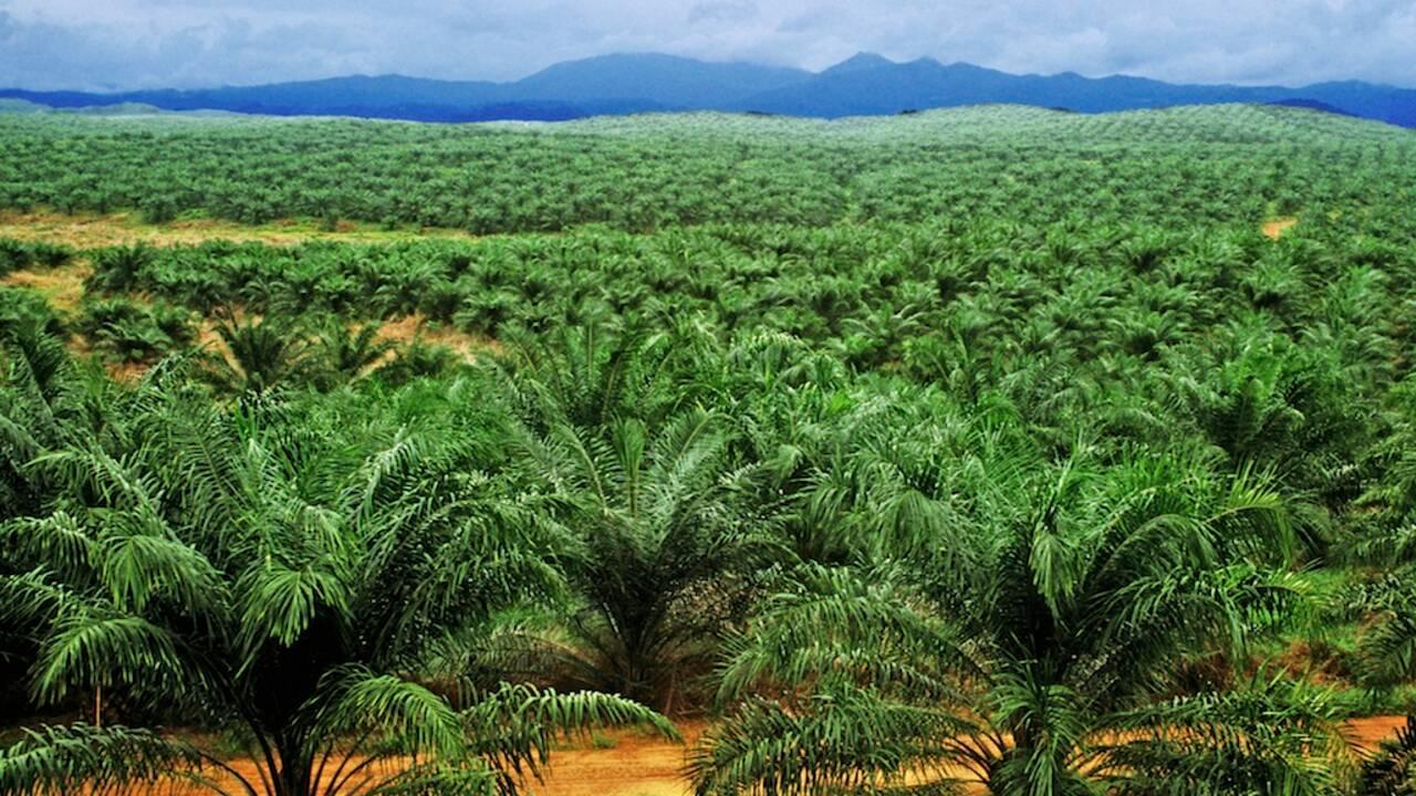 Faut-il interdire définitivement l'huile de palme ?
