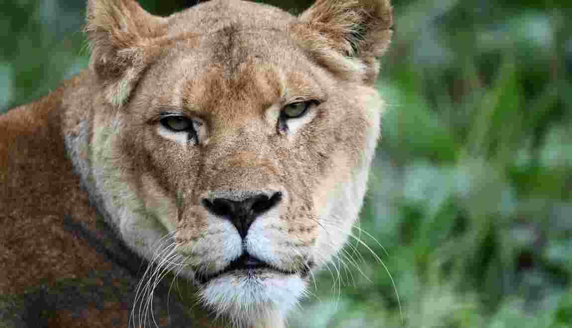 Petite leçon de chasse à destination des félins nés en captivité