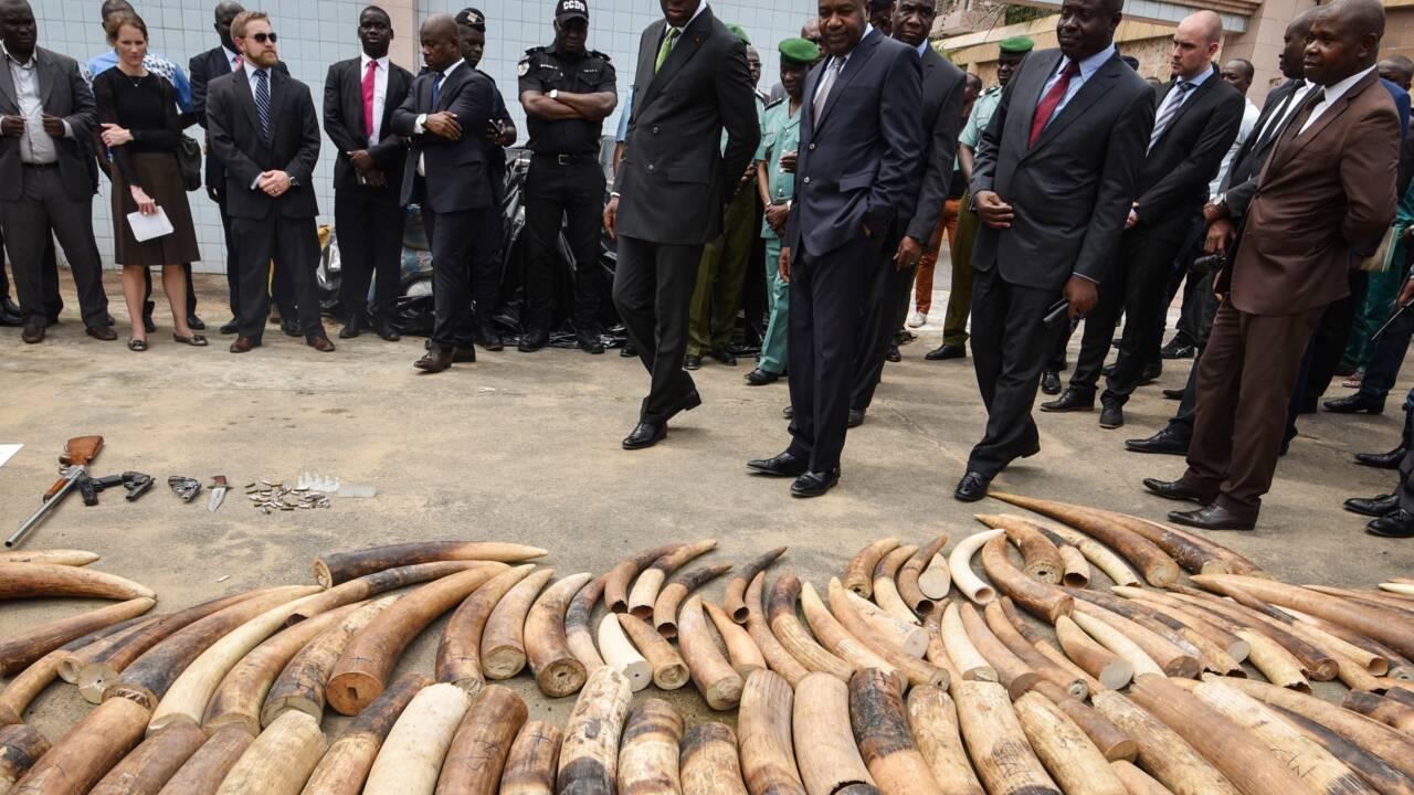 Côte d'Ivoire: saisie de 600 kg d'ivoire et 600 kg d'écailles de pangolin (police)