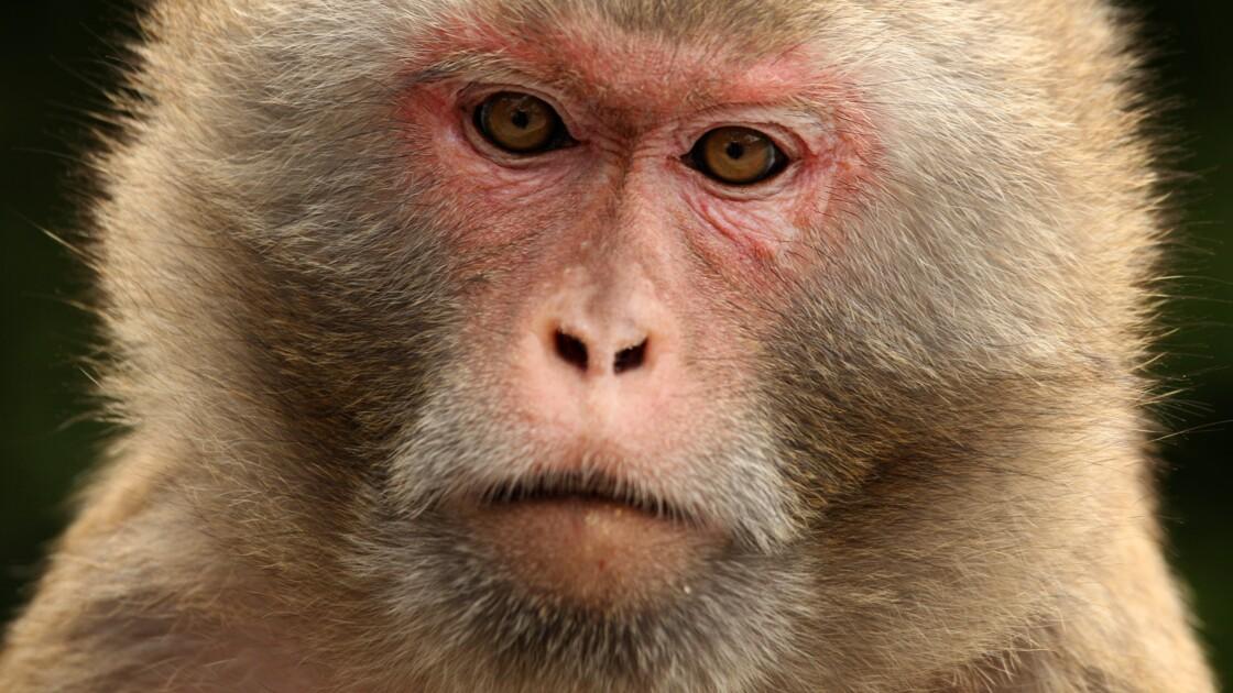 Japon: un zoo sacrifie 57 singes par souci de protection de l'espèce indigène