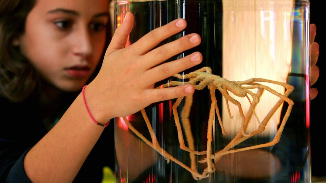 Chez l'araignée de mer, le sang et l'oxygène circulent grâce aux intestins