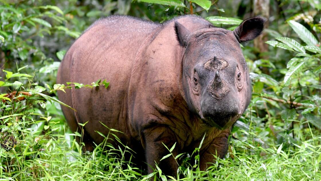 Sumatra: sauver le plus petit rhinocéros du monde