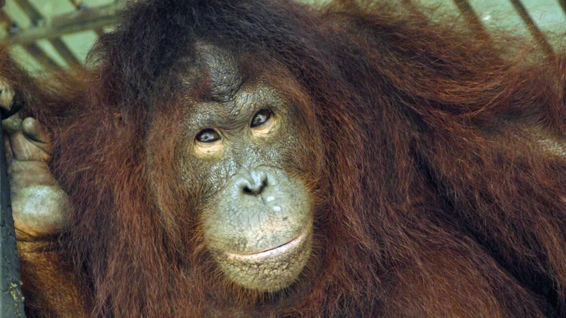 Bornéo : la déforestation grande responsable du déclin des orangs-outans