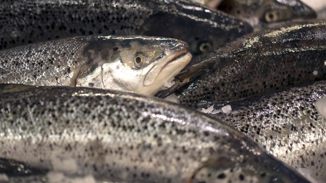Du saumon OGM vendu au Canada, inquiétudes des écologistes