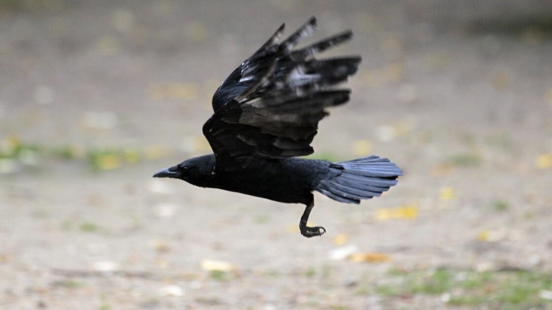 Les corbeaux comme les humains et les grands singes capables d'anticiper