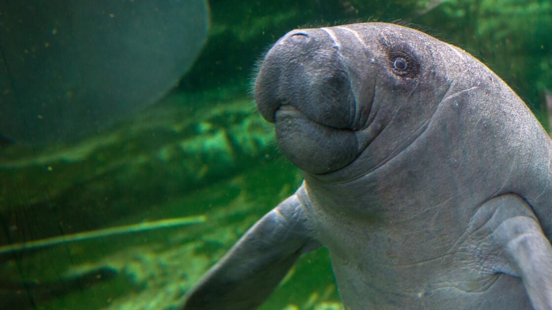 Les lamantins des Caraïbes ne sont plus en danger d'extinction