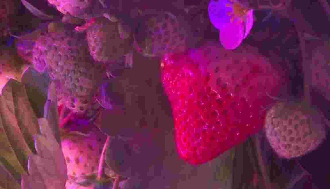 Au-dessus du macadam parisien, des fraises défient les saisons et la gravité
