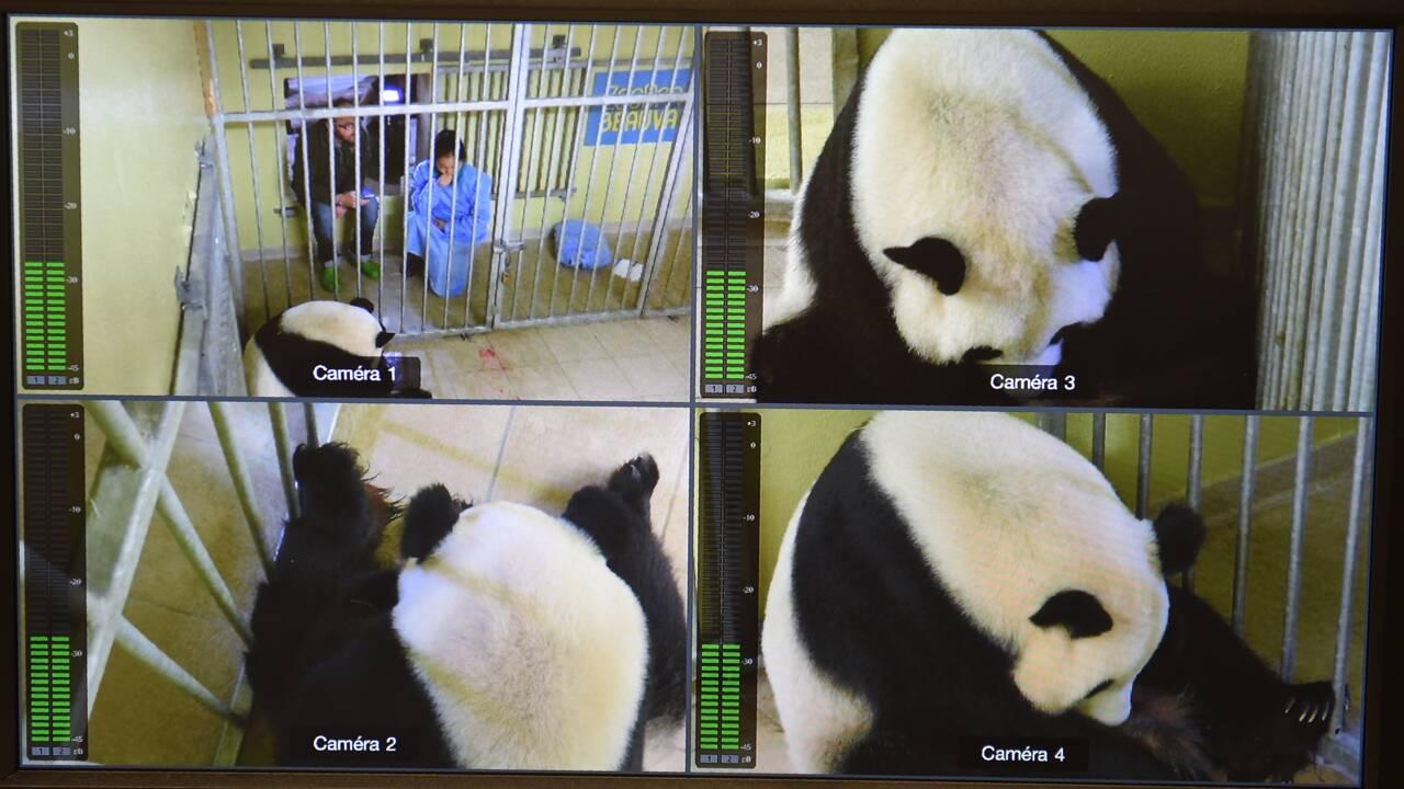 Le zoo de Beauval aux petits soins pour le premier bébé panda de France