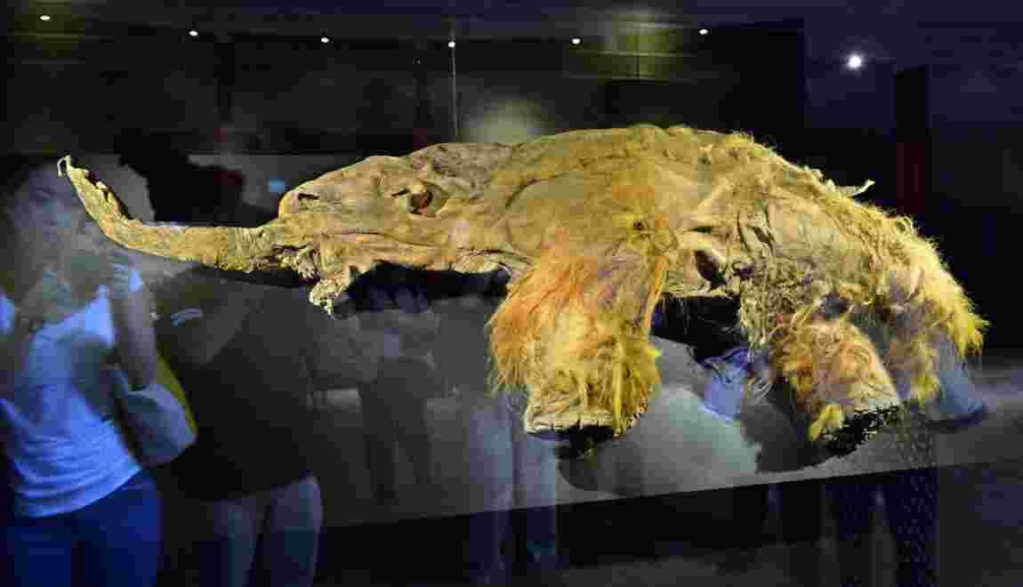 Le mammouth laineux mâle était plus aventureux que la femelle