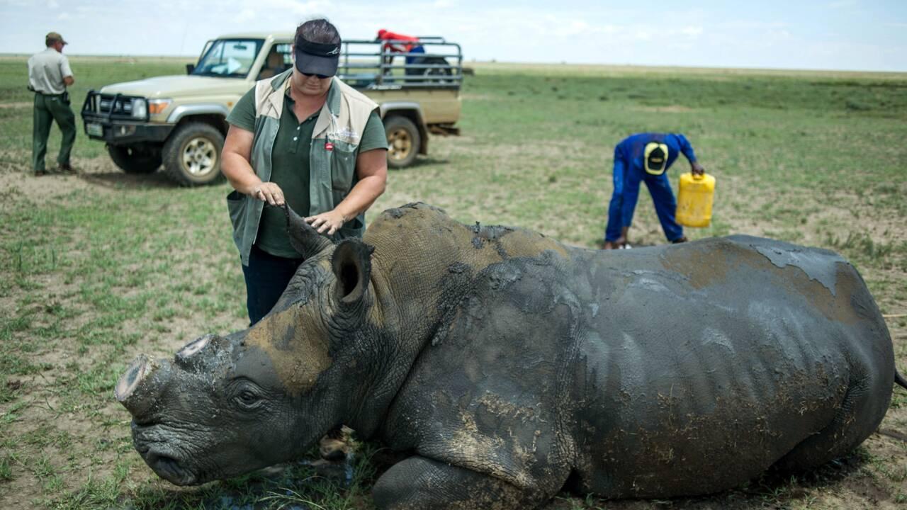 Afrique du Sud: la justice autorise des enchères de cornes de rhinocéros