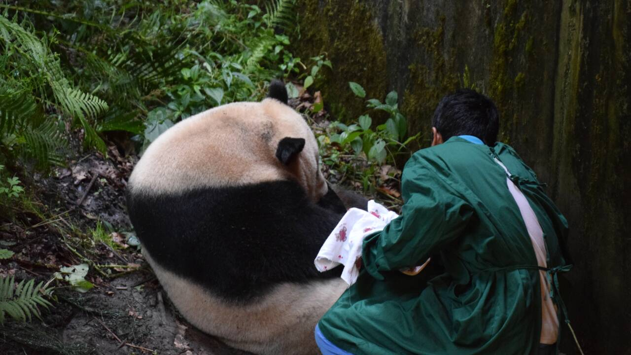 Chine: premier panda au monde né d'une mère captive et d'un père sauvage