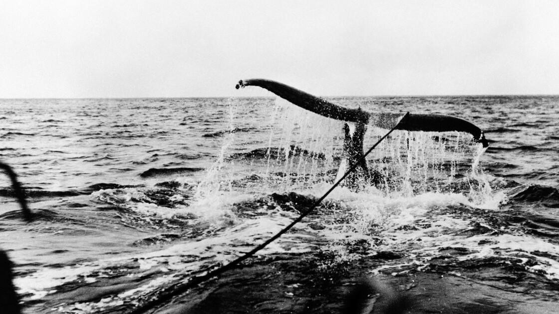 Chasse à la baleine: l'approbation d'un texte pro-cétacés tend la réunion de la CBI