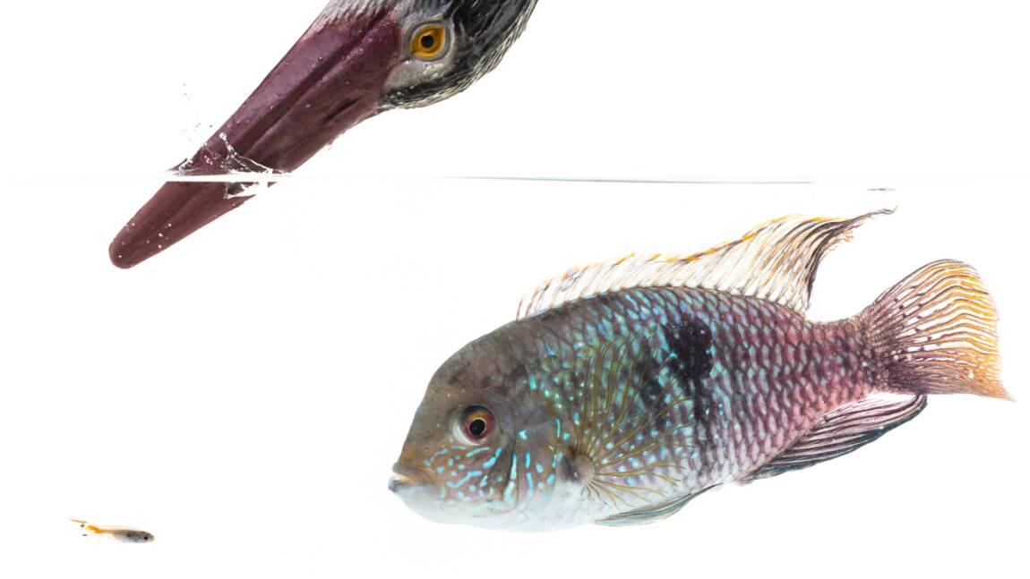 Les poissons ont de la personnalité, selon une étude britannique