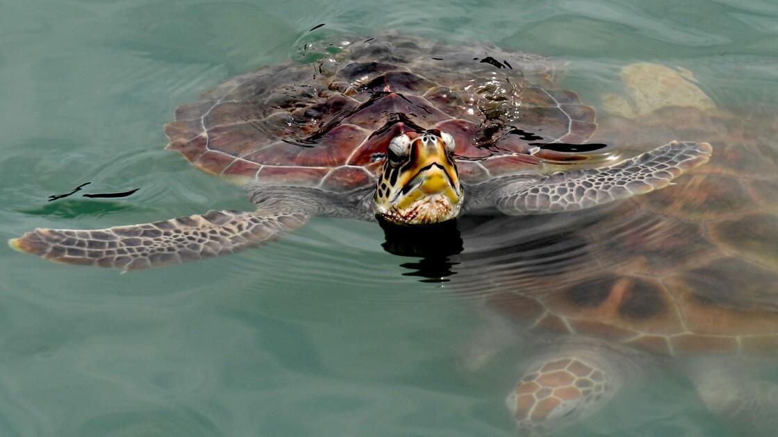 Indonésie: deux trafiquants de carapaces de tortues arrêtés