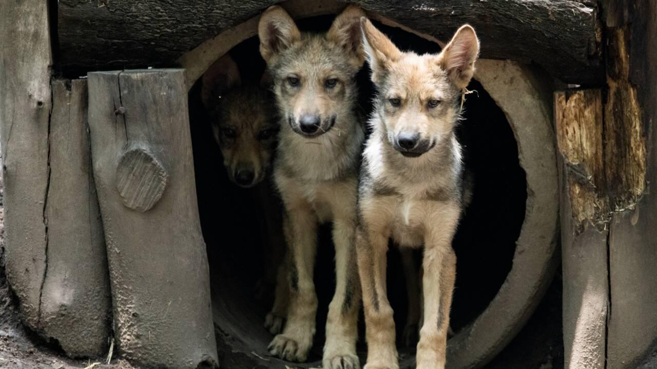 Le zoo de Mexico s'enorgueillit d'une portée de huit petits loups