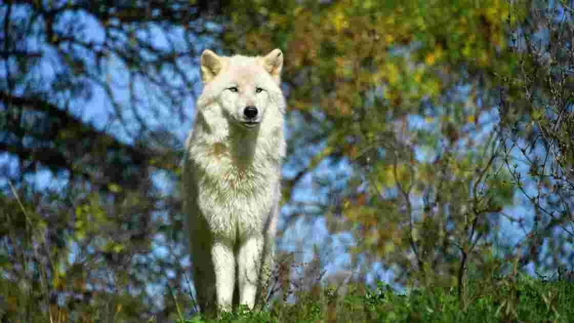 La présence d'un loup solitaire dans le Gard confirmée par la préfecture