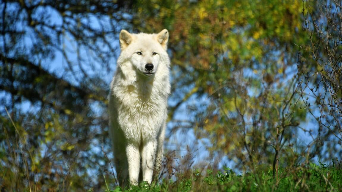 Revers juridique pour les maires qui voulaient autoriser la capture des loups