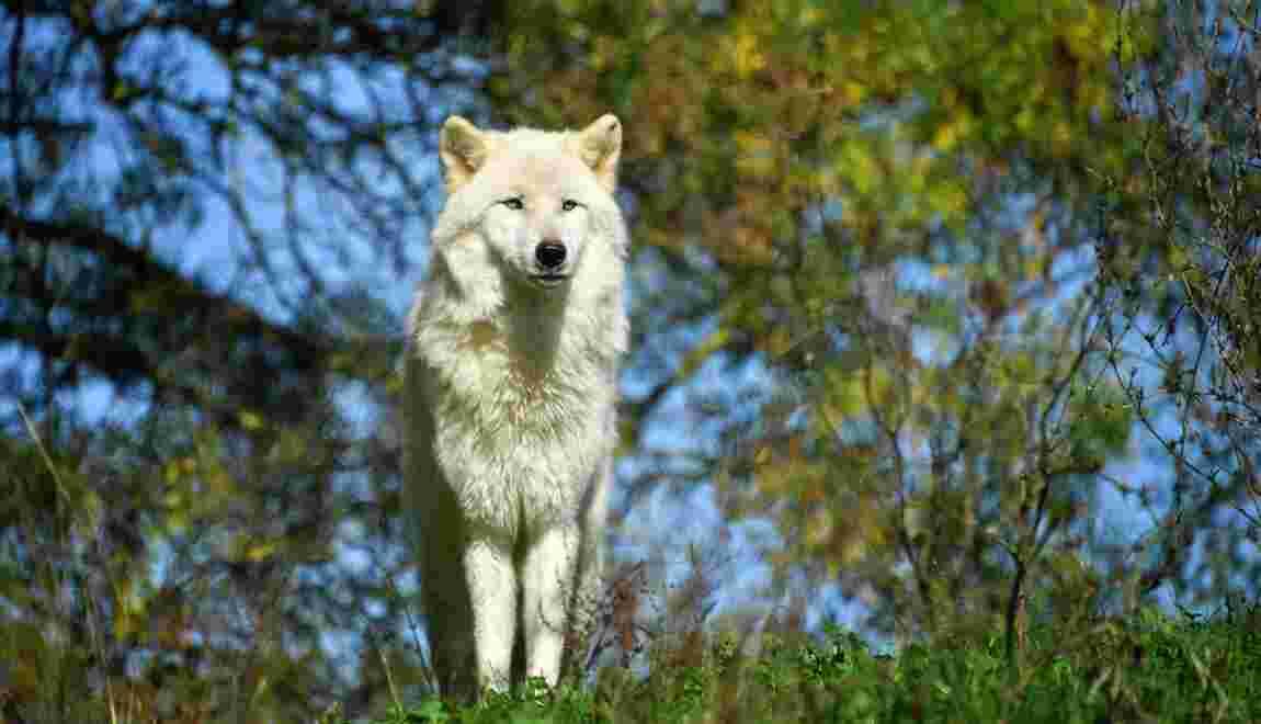 Des députés LREM demandent une évolution du plan loup