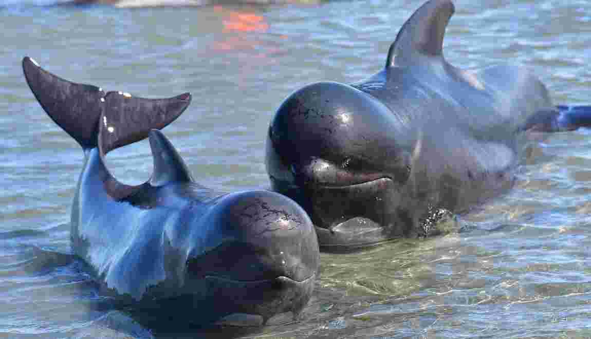 """Iles Féroé : """"écologique et respectueuse"""", le ministre de la Pêche défend la chasse aux dauphins"""