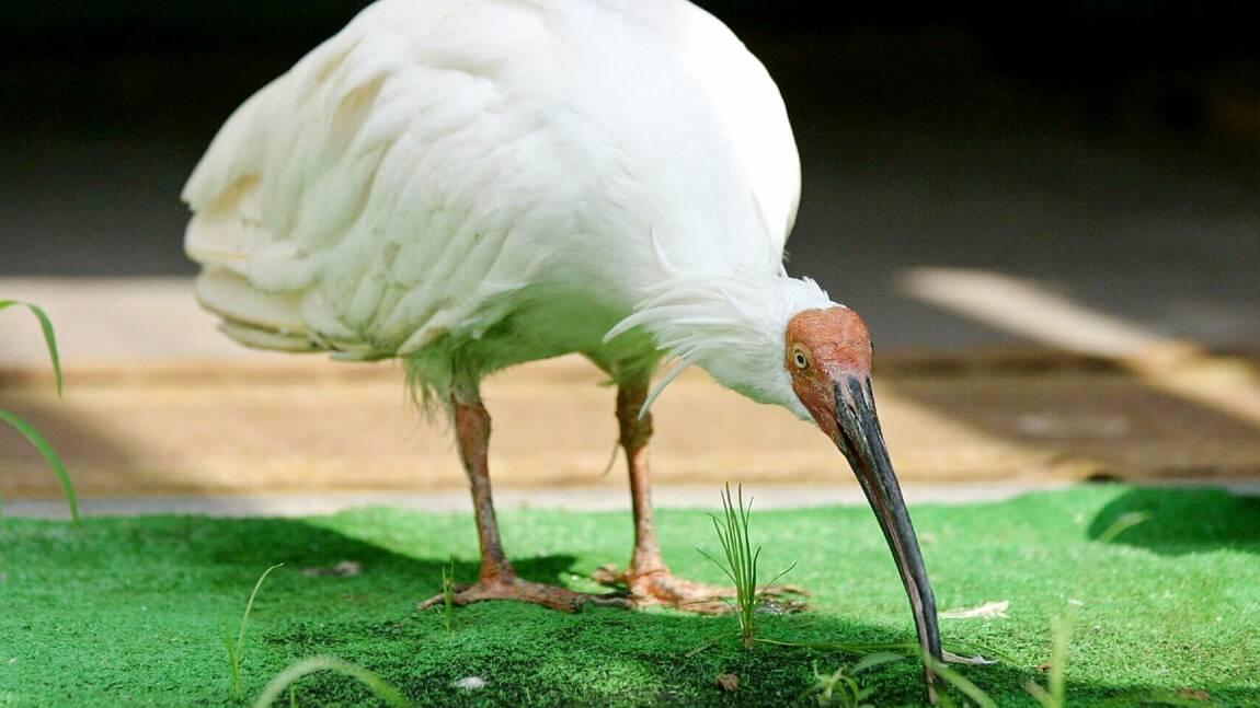 """Chine-Japon: l'ibis nippon vole au secours de la """"diplomatie du panda"""""""