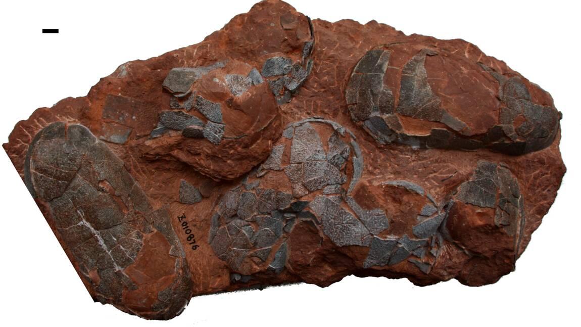 Des dinosaures étaient couvés comme des petits poussins