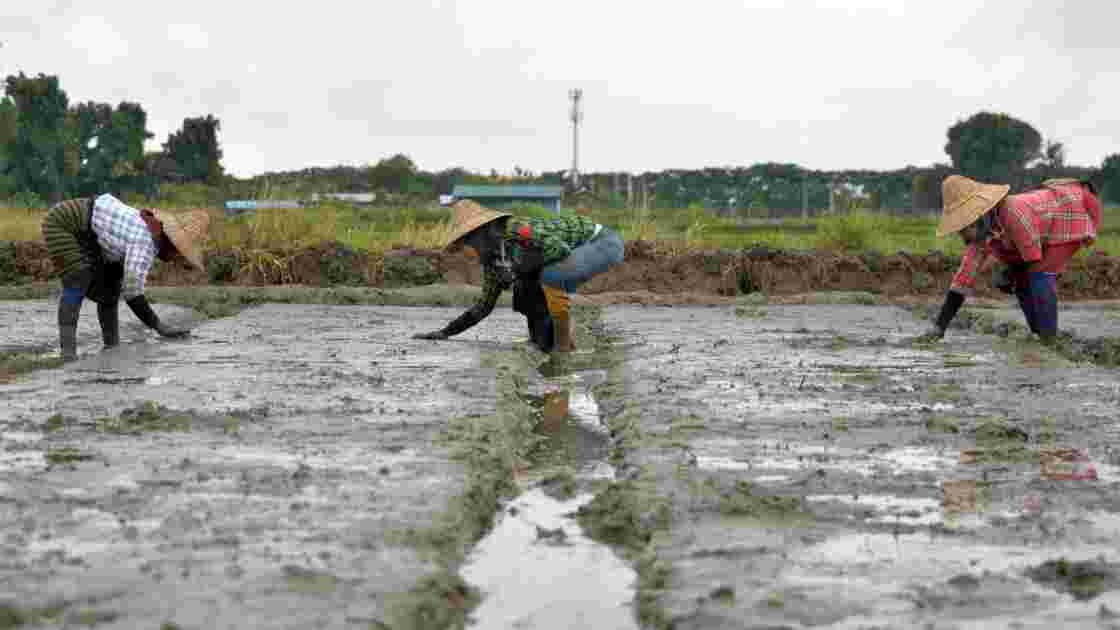 Les gaz à effet de serre dus aux rizières probablement très sous-estimés