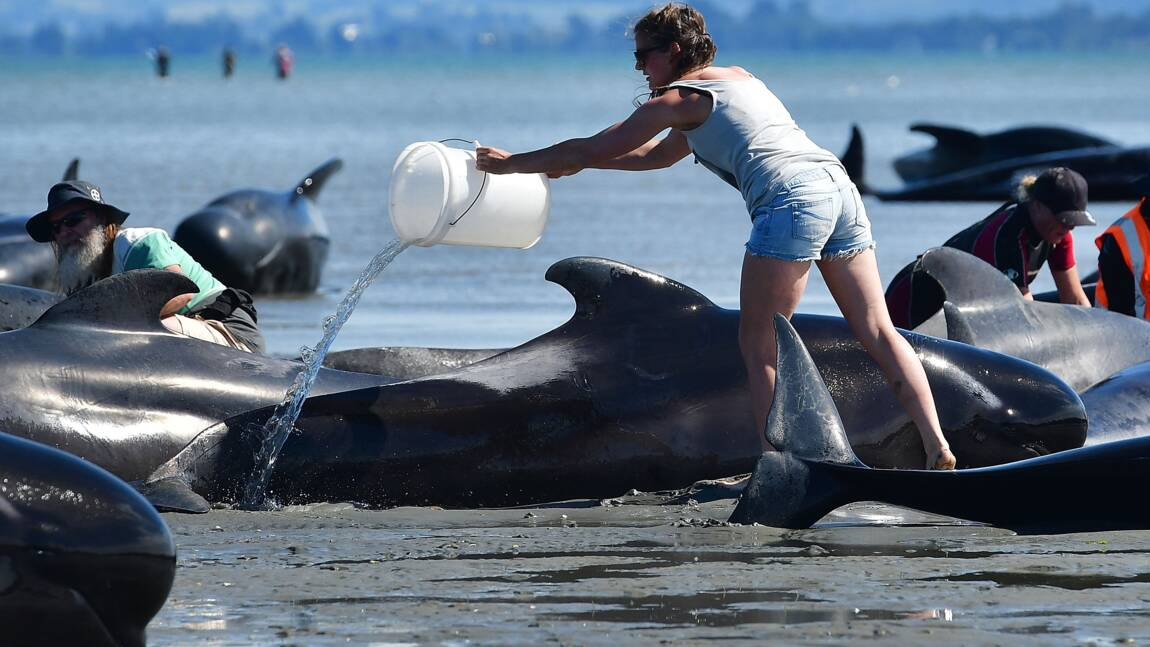 Nouvelle-Zélande: nouvel échouage de dauphins-pilotes