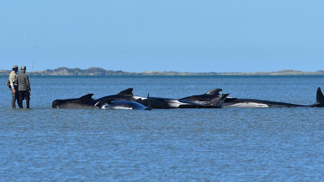 Nouvelle-Zélande: les dauphins-pilotes échouées regagnent le large
