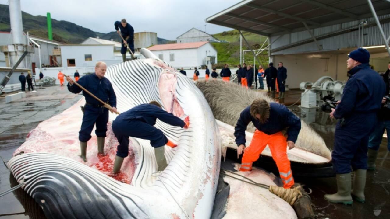 Tentative pour limiter la chasse à la baleine pratiquée par le Japon